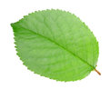 Green leaf of apple-tree Royalty Free Stock Photo