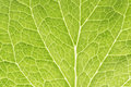 Green leaf as background Royalty Free Stock Image