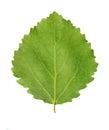 Green leaf of aspen Royalty Free Stock Photo