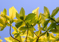 Green leaf background with blue sky Royalty Free Stock Photo