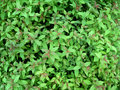 Green leaf background outdoors photography of bushes Royalty Free Stock Photo