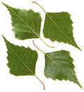 Green leaf of birch Royalty Free Stock Photo