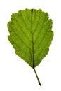 Green leaf of Black alder (Alnus glutinosa) isolat Royalty Free Stock Photo