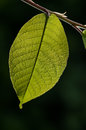 Green leaf on branch  on dark background with sunlight, organic tree background, detail photography Royalty Free Stock Photo