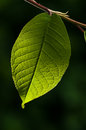 Green leaf on branch isolated on dark background with sunlight, organic tree background, detail photography Royalty Free Stock Photo