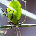 Green leaf bug - katydid Royalty Free Stock Photo