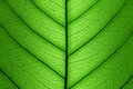 Green Leaf cell structure background - macro texture Royalty Free Stock Photo