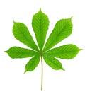 Green leaf chestnut Royalty Free Stock Photo