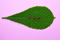 Green leaf of a chestnut and three ladybugs Royalty Free Stock Photo