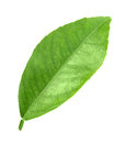 Green leaf of citrus tree flat a isolated on white background close up studio photography Royalty Free Stock Photography
