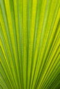 Green leaf close up of a palm tree or detail Royalty Free Stock Photos