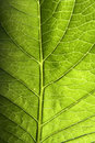 Green Leaf Closeup Stock Photography