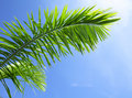 Green leaf of coniferous tree under blue sky Royalty Free Stock Images