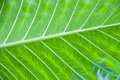 Green leaf detail Royalty Free Stock Photography