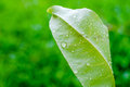 Green leaf and dew close up at grass field Royalty Free Stock Photo