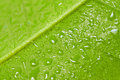 Green leaf with dew drops. Stock Images