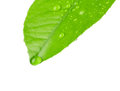 Green leaf with dew drops isolated on white background Royalty Free Stock Image