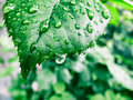 Green leaf with dew drops Royalty Free Stock Photo
