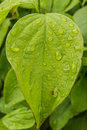On green leaf drops of rain, abstract background Royalty Free Stock Photo