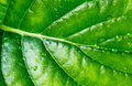 Green leaf with drops of water texture background  macro Royalty Free Stock Photo