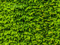 Green leaf gackground wall made of leafs typical for pakr areas Royalty Free Stock Photo