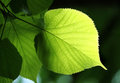 Green leaf glowing in sunlight Royalty Free Stock Photo