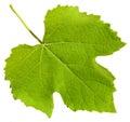 Green leaf of grape vine plant (Vitis vinifera) Royalty Free Stock Photo