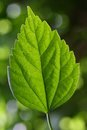 A Green leaf of hibiscus Royalty Free Stock Photo