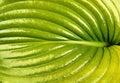 Green leaf of hosta closeup