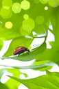 Green leaf with ladybug Royalty Free Stock Image