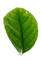 Green leaf of lemon tree Royalty Free Stock Image
