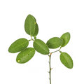 Green leaf of lemon tree on small branch. Studio shot isolated o Royalty Free Stock Photo