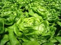 Green leaf lettuce Royalty Free Stock Photos