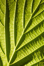 Green leaf macro with deep shadows from viens Stock Images