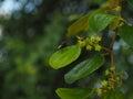 Green leaf of monkey apple. Royalty Free Stock Photo