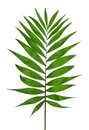 Green Leaf Palm Tree (Howea ) Royalty Free Stock Photo