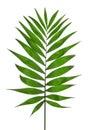 Green Leaf Palm Tree (Howea ) Royalty Free Stock Photo