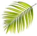 Green leaf of palm tree on white