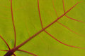 Green leaf with red veins macro Royalty Free Stock Photo