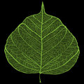 Green leaf skeleton Royalty Free Stock Photo
