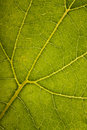 Green leaf structure Royalty Free Stock Photo