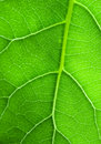 Green leaf structure Royalty Free Stock Image