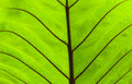 Green leaf texture of a as background Royalty Free Stock Photos
