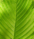 Green leaf texture close up of tree Royalty Free Stock Photography