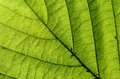 Green leaf texture closeup Royalty Free Stock Photo