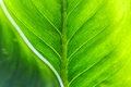 Green leaf texture with foreground Royalty Free Stock Photo