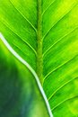 Green leaf texture with foreground Royalty Free Stock Images