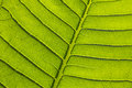 Green leaf texture fresh veins Stock Images