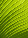 Green leaf texture palm plant Royalty Free Stock Photography