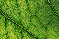 Green Leaf Texture With Visible Stomata Covering The Epidermis Layer Royalty Free Stock Photo